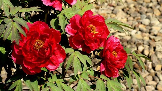 Predanja i verovanja na Vidovdan - Šta simbolizuje crveni božur?