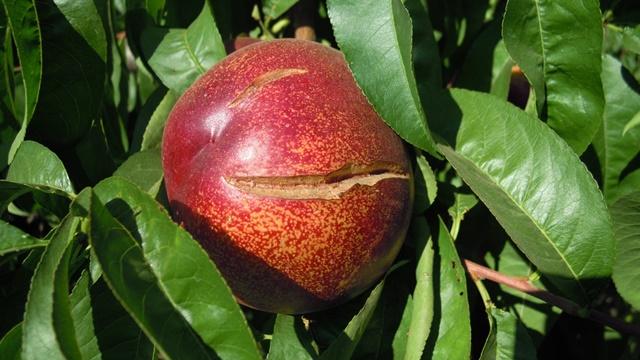 Prihrana voćaka veoma važna u narednom periodu