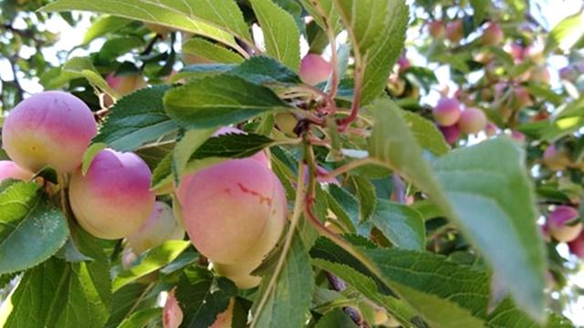 Dženarika - retke su godine kad ova voćka ne rađa