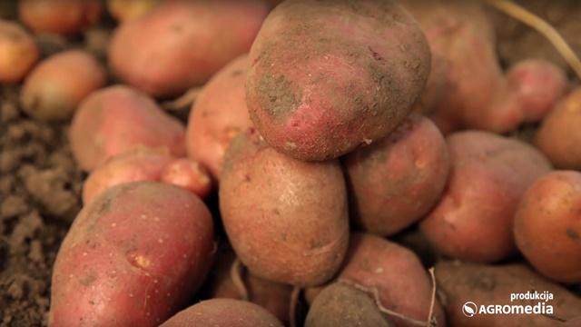 Prinos krompira ove godine premašio očekivanja