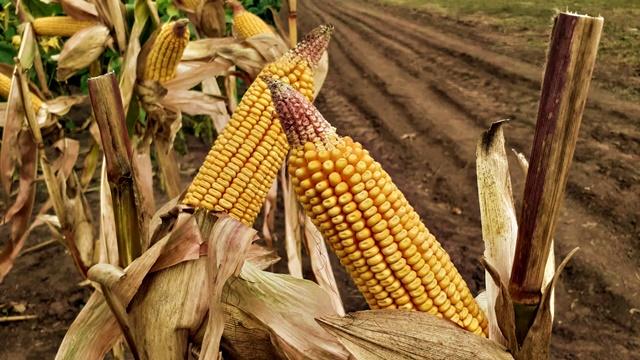 Sa kompletnom agrotehnikom prinosi KWS hibrida zadovoljavajući