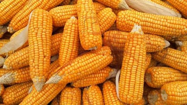 Da li će kukuruz ove godine doneti profit poljoprivrednicima?