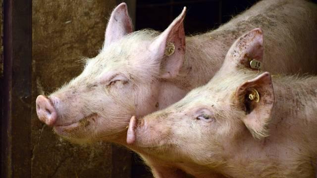 Samo za početnike: Čime sve možete hraniti svinje?