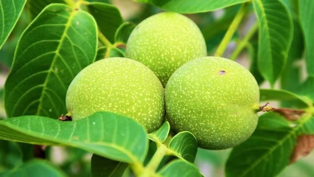 Troškovi održavanja minimalni: 15 razloga za uzgoj oraha