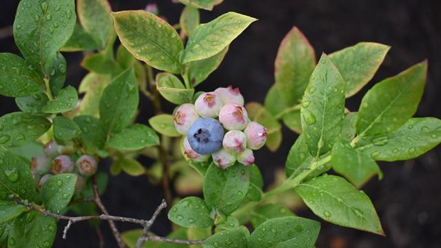 Daljinskim navodnjavanjem odredite pravu količinu vode i đubriva u zasadu borovnice