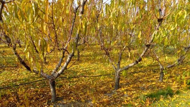 Jesenje plavo prskanje - najbolja zaštita voćnjaka od patogena