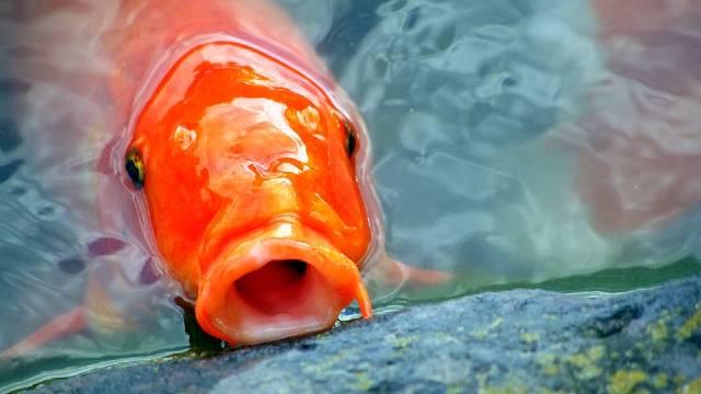 Saveti za početnike: Pravilna ishrana riba u akvarijumu