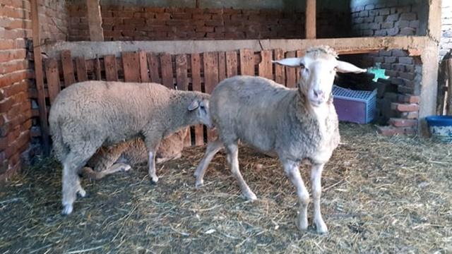Ishrana ovaca: Sirova soja za veću produktivnost grla