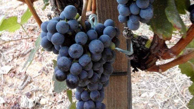 Saveti za početnike: Kako da gajite grožđe u svom dvorištu