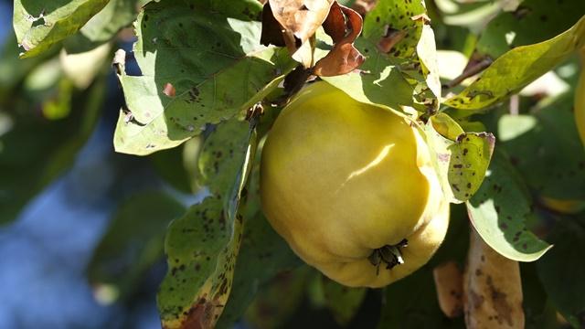 Opasna bolest: Evo zašto dunje pocrne iznutra i suše se?