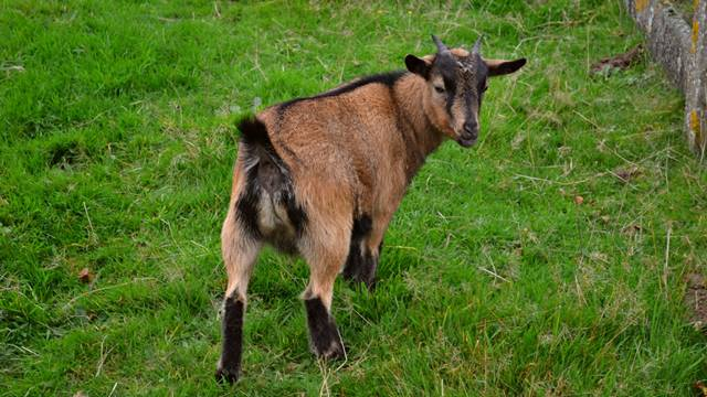 Koja italijanska koza daje najviše mleka?