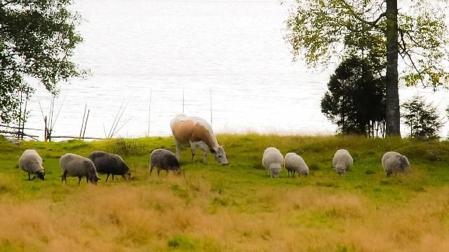 Zašto je dobro voditi koze, krave, ovce i svinje zajedno na ispašu?