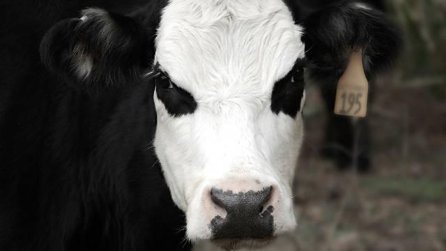 Stres kod stoke: Kako da smirite uznemirene krave