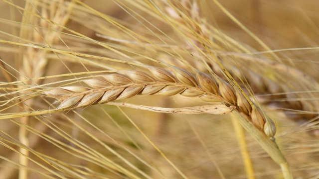 Jesenja setva ozimih stočnih žitarica - prednosti i mane