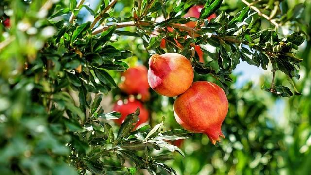 Uspešan uzgoj nara zavisi od izbora sorte i načina nege
