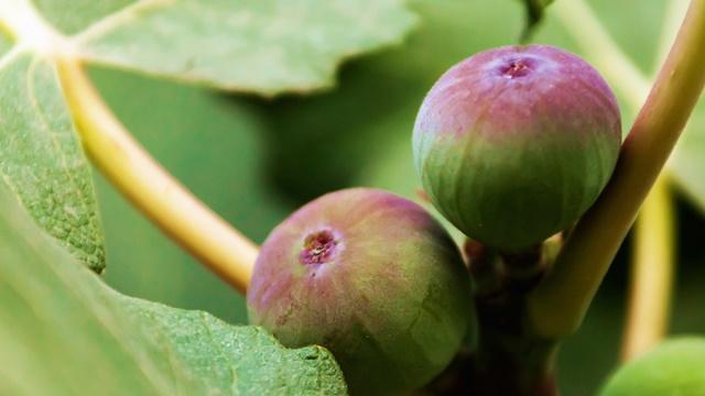Gajenje smokve: Novembar je mesec za sadnju