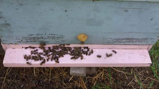 Broj uginulih pčela PORAŽAVAJUĆ - Jedan od uzročnika i GRAŠAK