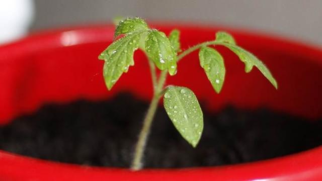RANIJA BERBA: Gajenje biljka iz RASADA, ili iz semena?