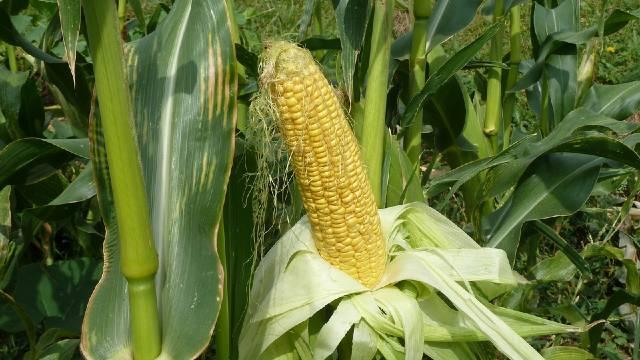 Zlatni kukuruz šećerac na dohvat ruke - Specifični uslovi gajenja u bašti