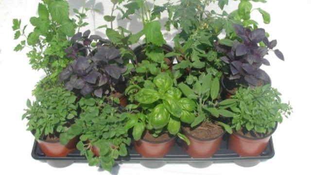 3 začinske biljke sa AROMOM LIMUNA koje možete gajiti sami
