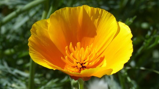 Samoniklo cveće: Cvetna bašta bez puno muke
