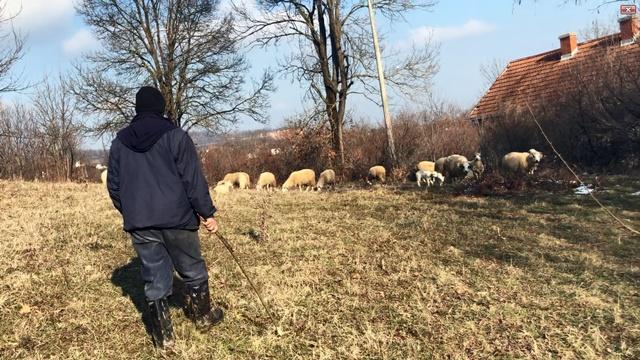 Već pola veka druguje sa ovcama