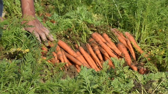 BOLERO - hibrid šargarepe odličan za dugo čuvanje - ©Agromedia