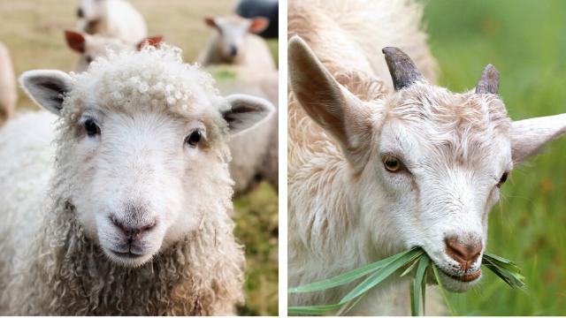 Koje rase ovaca i koza su najpopularnije u našoj zemlji?