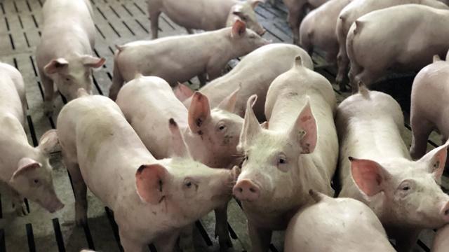 Kako da zaštite farmu svinja od muva - ©Agromedia