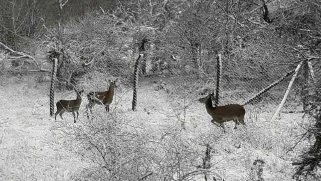 Evropski jelen vratio se kući u Studeničko lovište