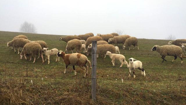 Spoj tehnologije i tradicionalnog stočarstva: Nišlija osmislio robota-pastira - © Agromedia