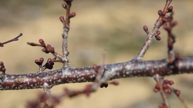Topla zima stvara uslove za infekciju voćaka - Sada je vreme za zaštitu!