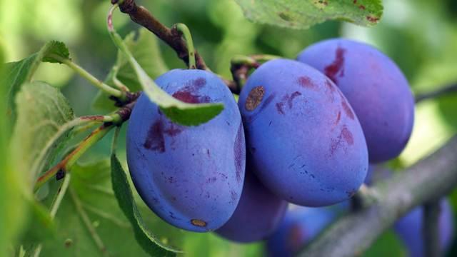 Sušenjem ORGANSKOG voća do visoke cene na tržištu