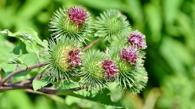 Za neke je ova biljka nepoželjan KOROV, a drugima hrana i LEK