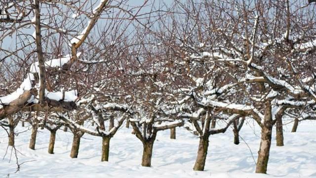 Sneg neće našteti pšenici, ali pojedinom voću hoće