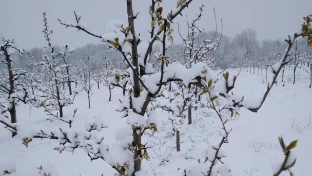 Prvi prolećni mraz OBRAO kajsije u kraljevačkom kraju