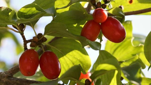 Kako se gaji DREN - blagotvorna biljka naših predaka?