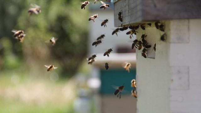 Bliži se najvažnija pčelinja paša - Da li će ona ipak izostati?