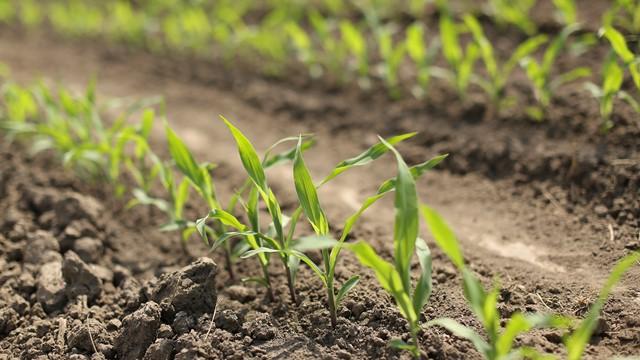 Prvi tretman protiv korova u kukuruzu – kako odabrati najbolji zemljišni herbicid