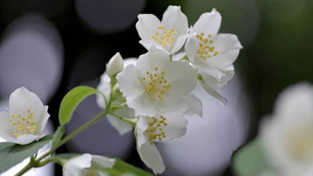Ukrasni grm koji podstiče ljubav: Ovako se sadi i razmnožava JASMIN!