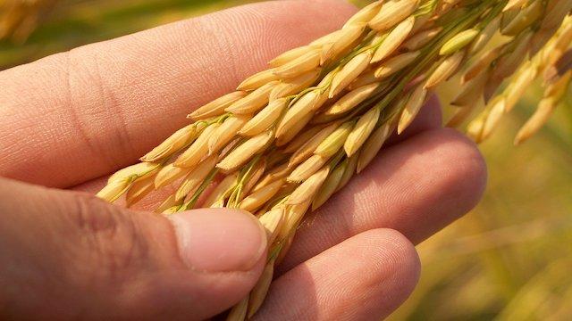 Globalna predviđanja: Da li će biti dovoljno hrane ako kriza potraje?