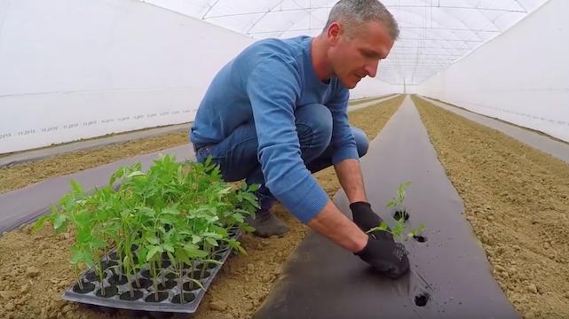 Kada i zašto treba praviti pauze u plasteničkoj proizvodnji povrća?