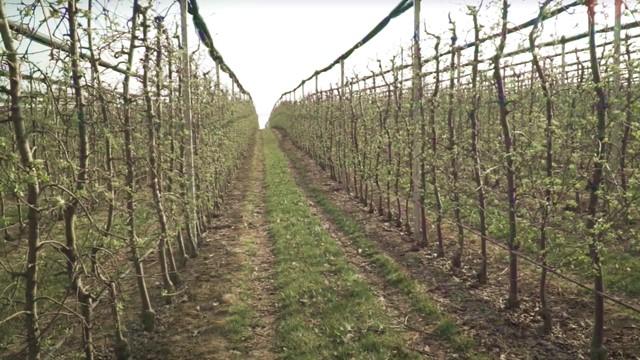 Sada možete reći ZBOGOM lisnim vašima u zasadima jabuke!