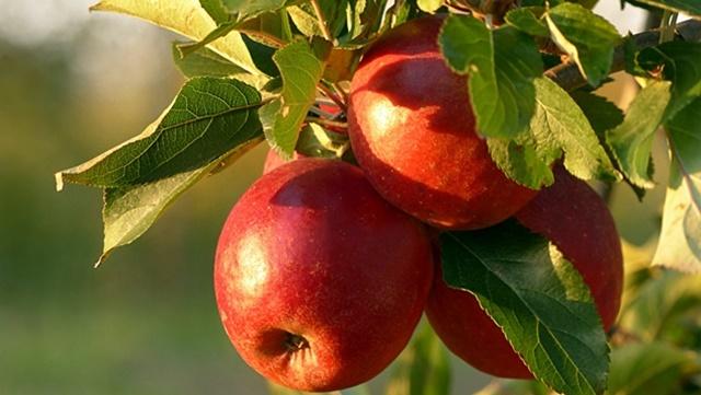 Vreme je za suzbijanje lisnih vaši i pepelnice na jabuci