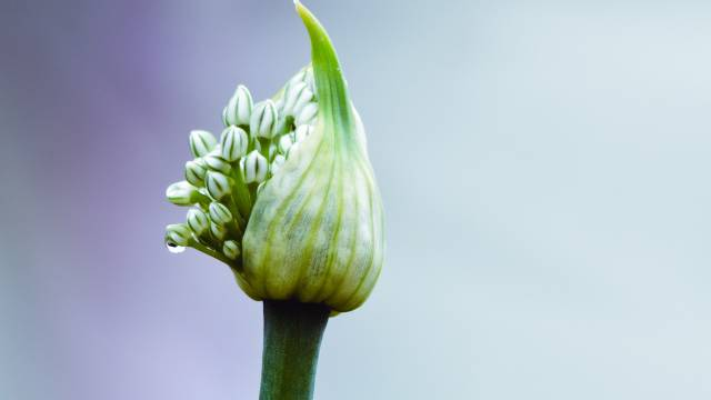Zašto neki luk ima cvet, a neki ne?