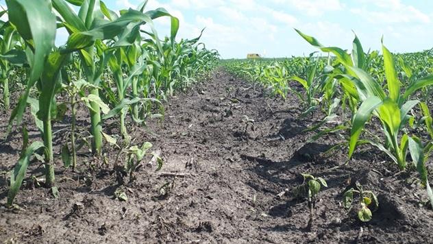 Zaštita i prihrana kukuruza - saveti iz prve ruke!