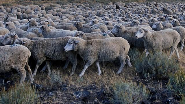 Uzgoj Il de Frans rase ovaca - isplativo i sigurno zanimanje