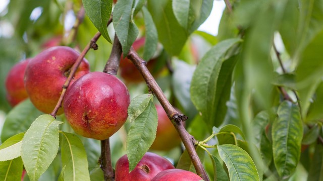 Zašto neki proizvođači odustaju od nektarine?