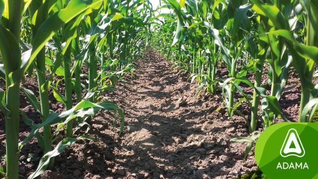 Sulcotrek - suzbija korove do osmog lista kukuruza