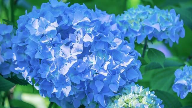 Hortenzije često menjaju boju - Evo kako da dobijete plavu hortenziju